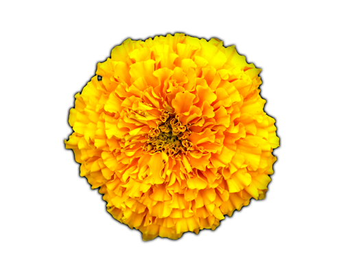 FLOWERS MARIGOLD Learn about