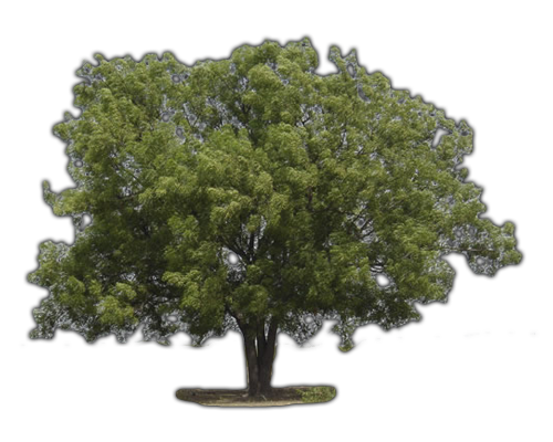 TREES NEEM TREE Learn about